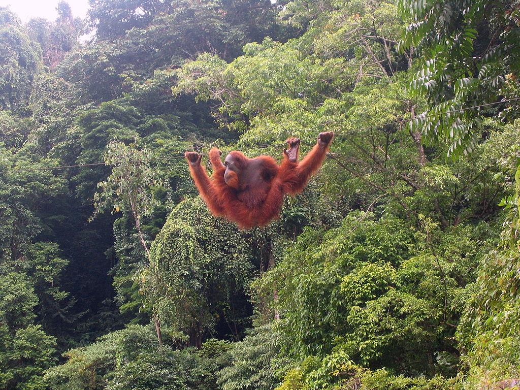 Photo Bukit Lawang - Indonésie